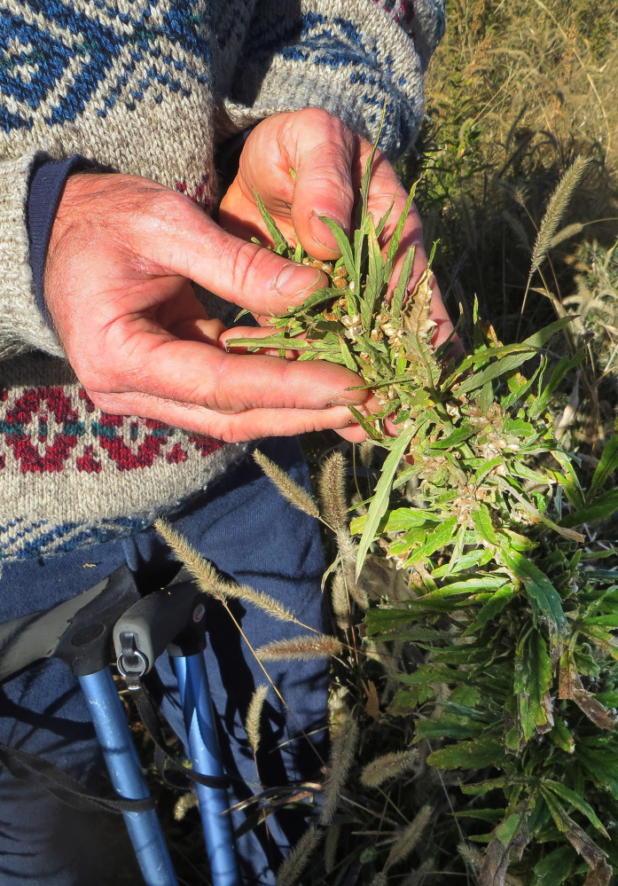 Industrial Hemp Seeds in Colorado 2014